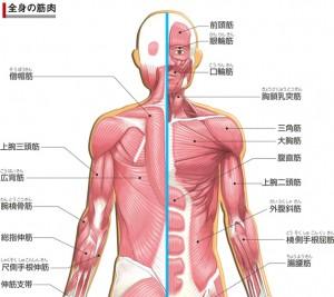 全身筋肉図